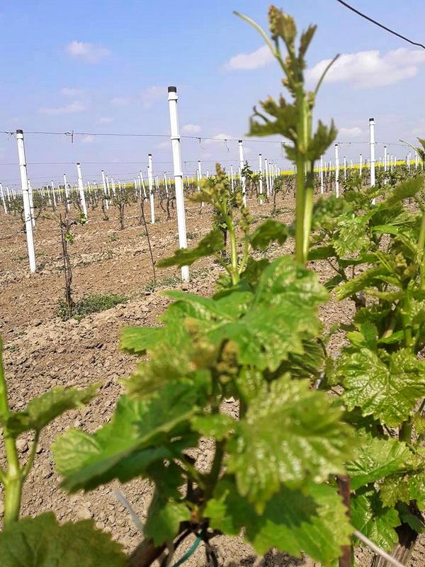 Vinogradi na Bisernom ostrvu